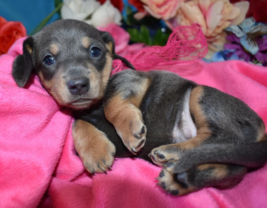 AKC female blue tan smooth coat miniature dachshund puppies