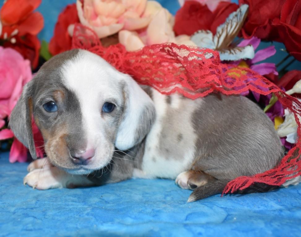 blue cream smooth coat dapple miniature dachshund puppies for sale