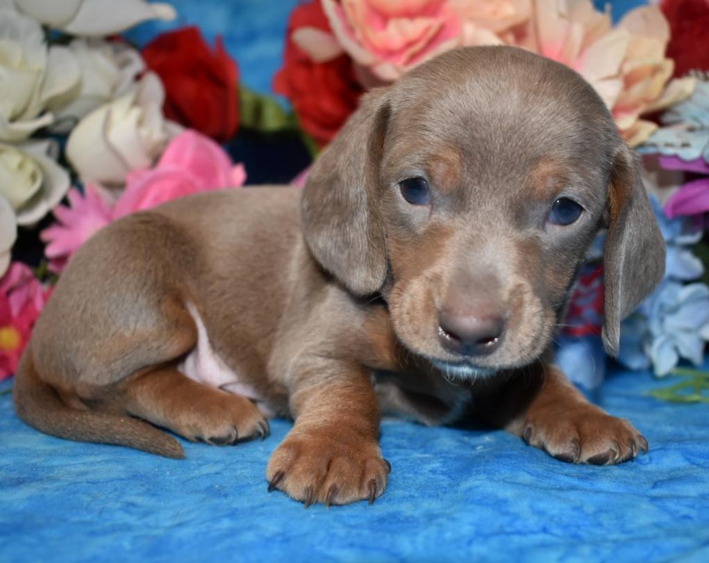 Adopt Mini Dachshund Puppies