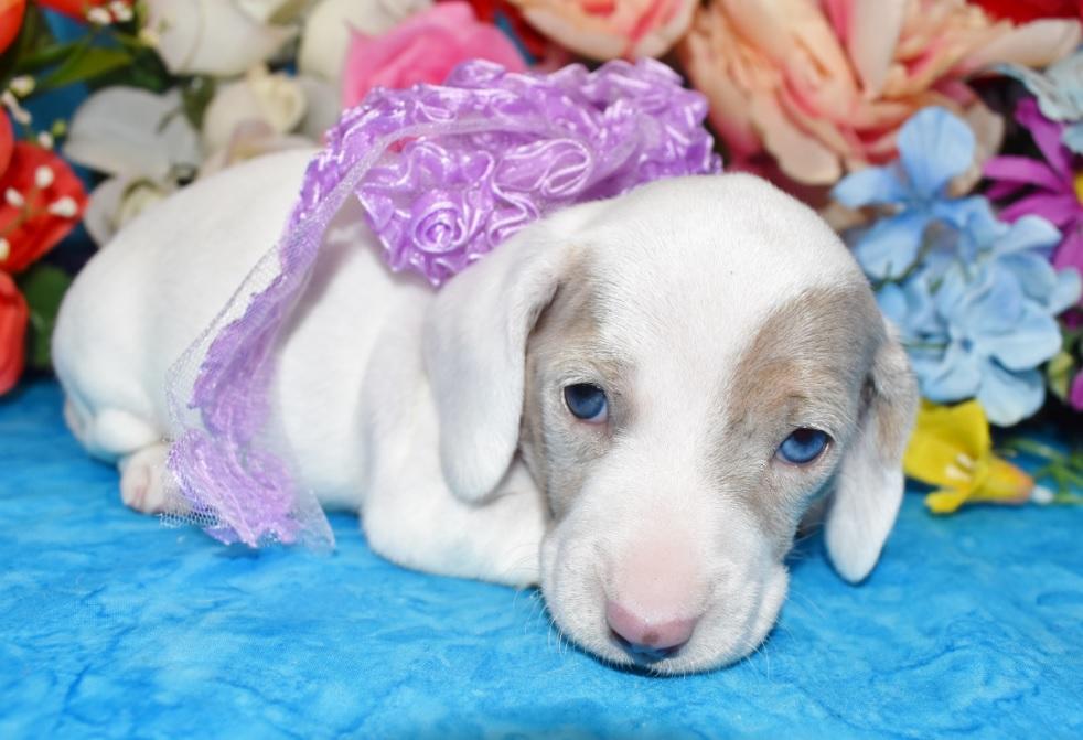 blue eyes isabelle cream dapple miniature dachshund puppy