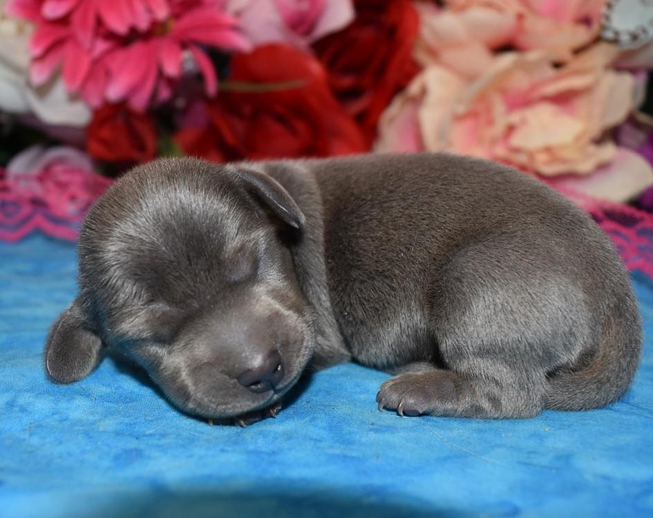 solid blue AKC miniature dachshund litter