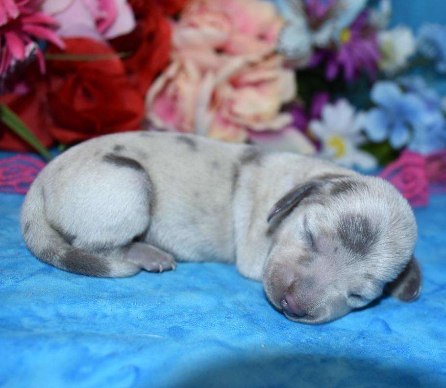 blue cream dapple miniature dachshund puppies