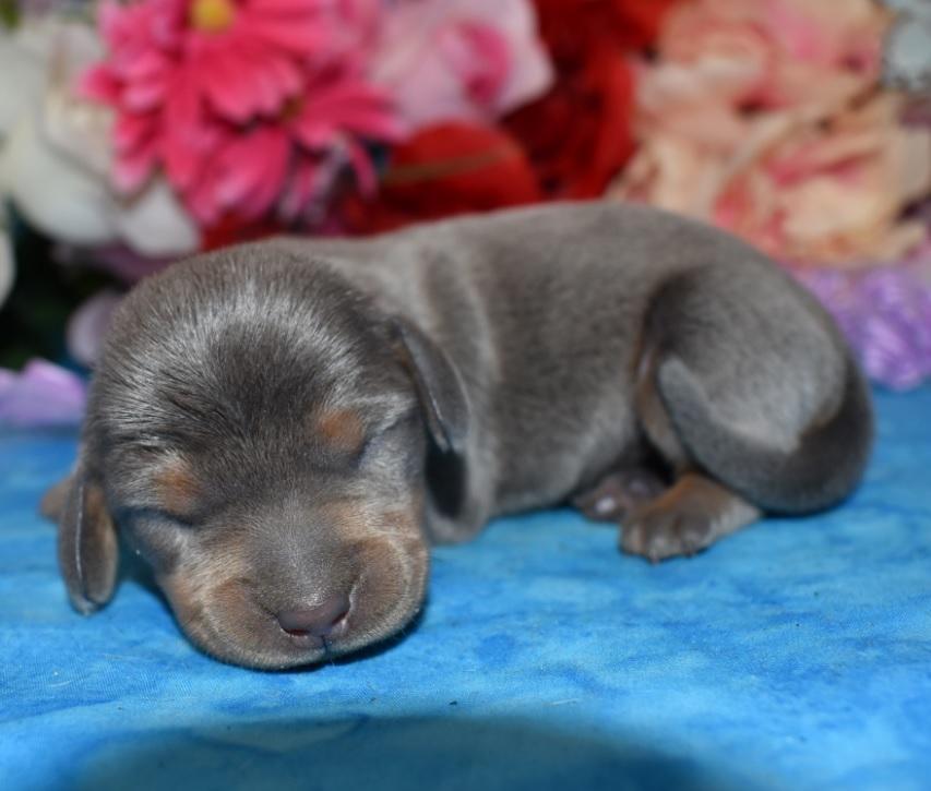 blue and tan miniature dachshund litter