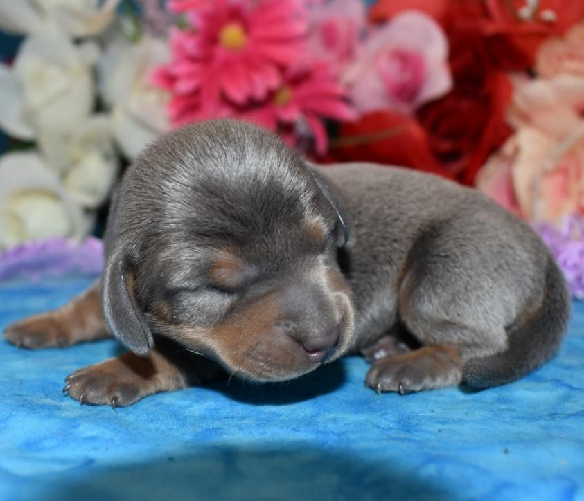 blue and tan miniature dachshund puppies in Colorado