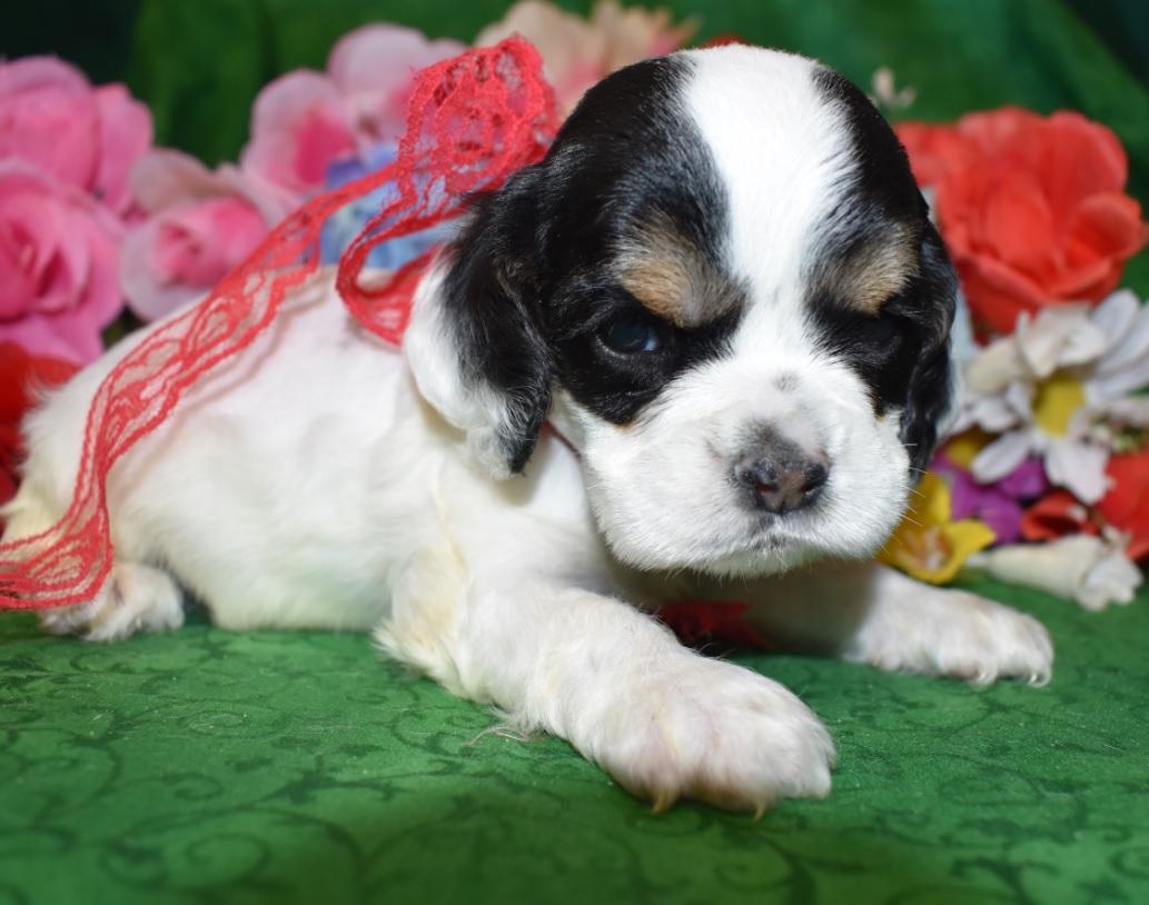 AKC Male Black Tan Parti Cocker Spaniel Puppy for Sale in Colorado