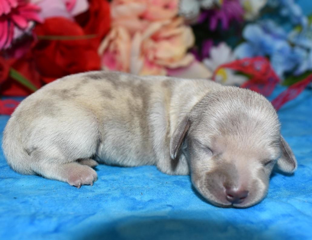 Isabelle tan cream dapple miniature dachshund puppy
