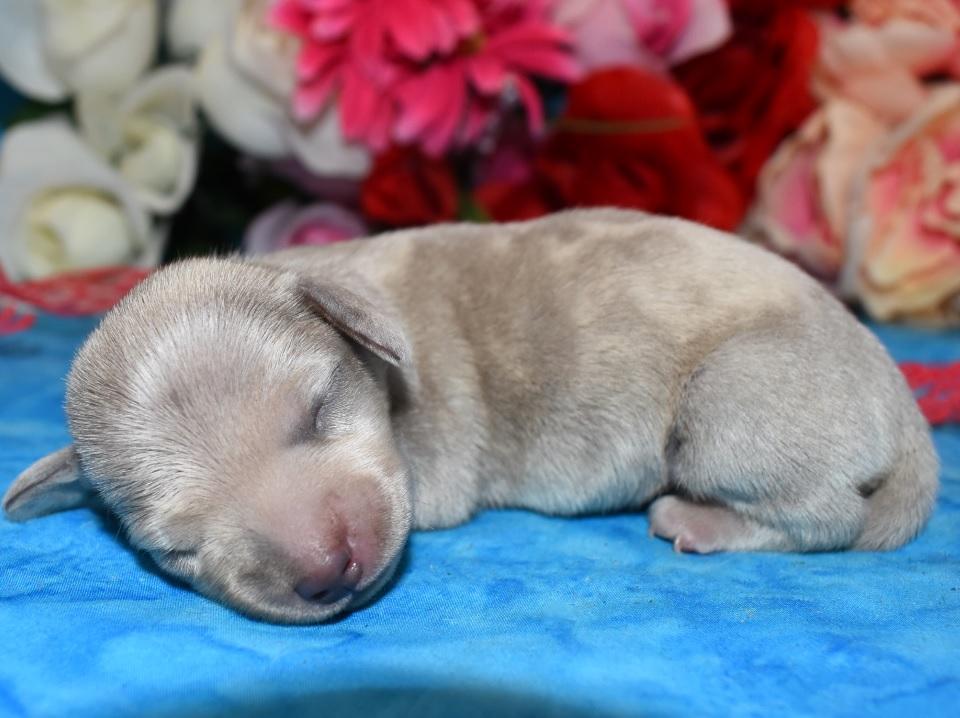 cream dapple miniature dachshund puppies for sale