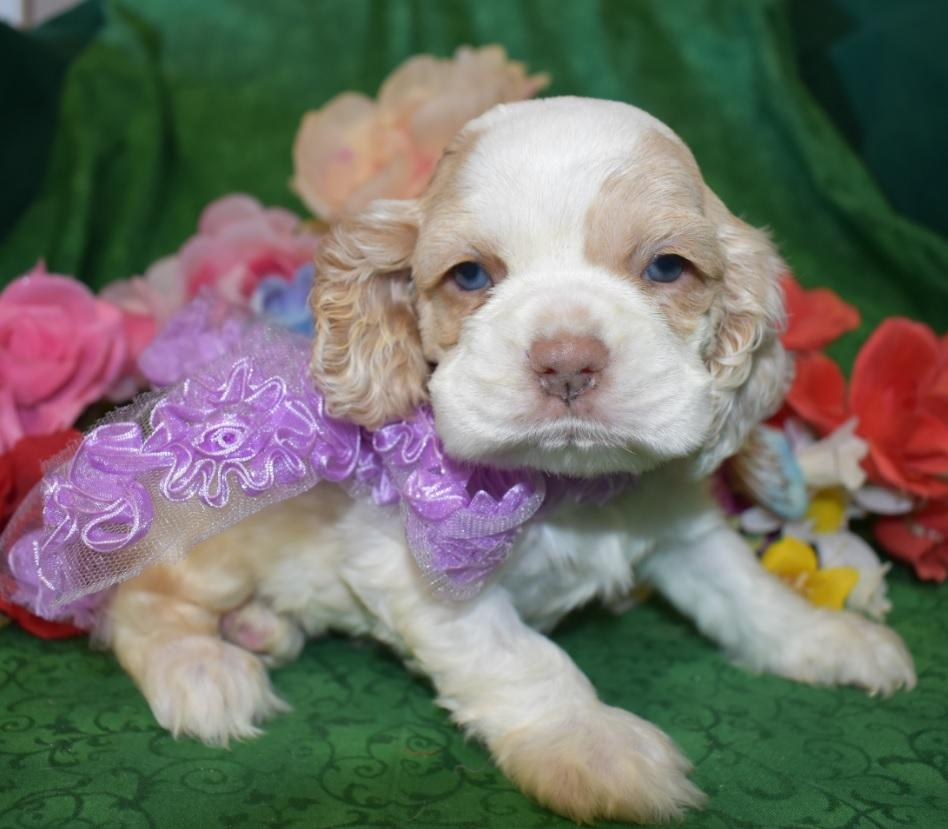 AKC Female Red Parti Cocker Spaniel Puppies for Sale