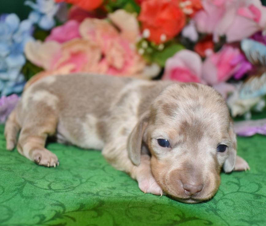 AKC female isabelle tan dapple smooth coat miniature dachshund puppy for sale