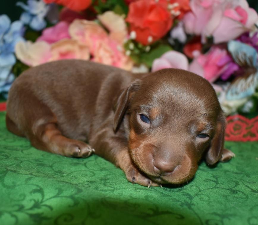 male chocolate tan smooth coat miniature dachshund puppies