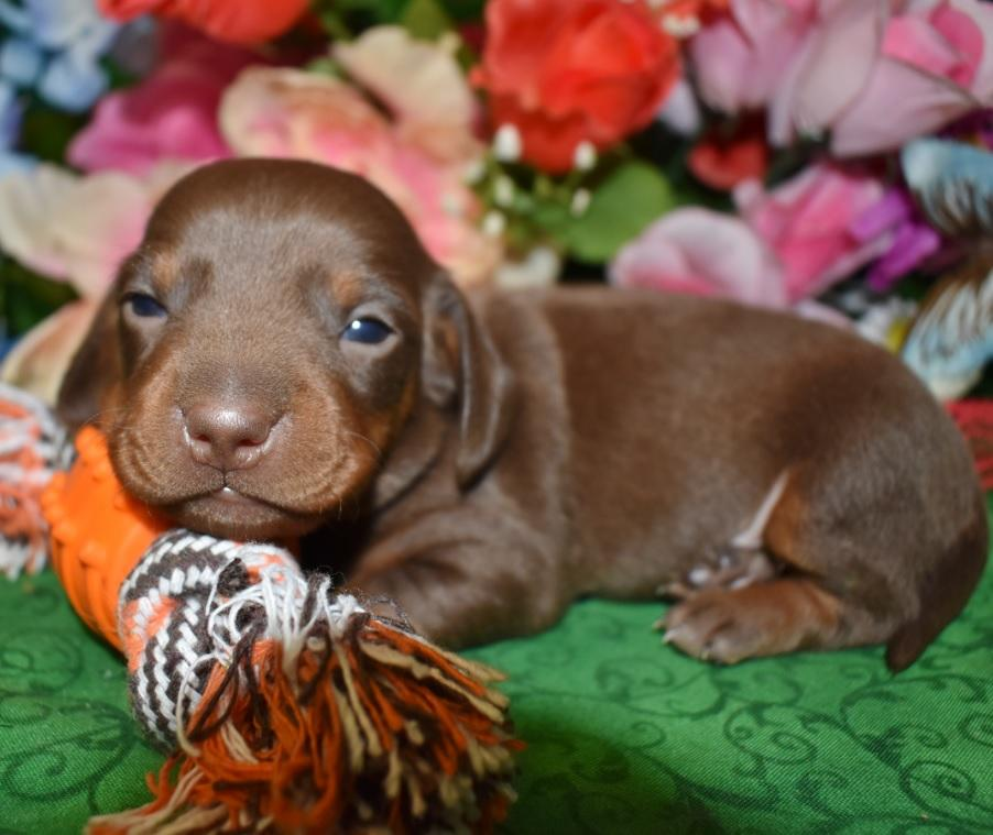 Boomer-chocolate-tan-smooth-coat-miniature-dachshund2.4