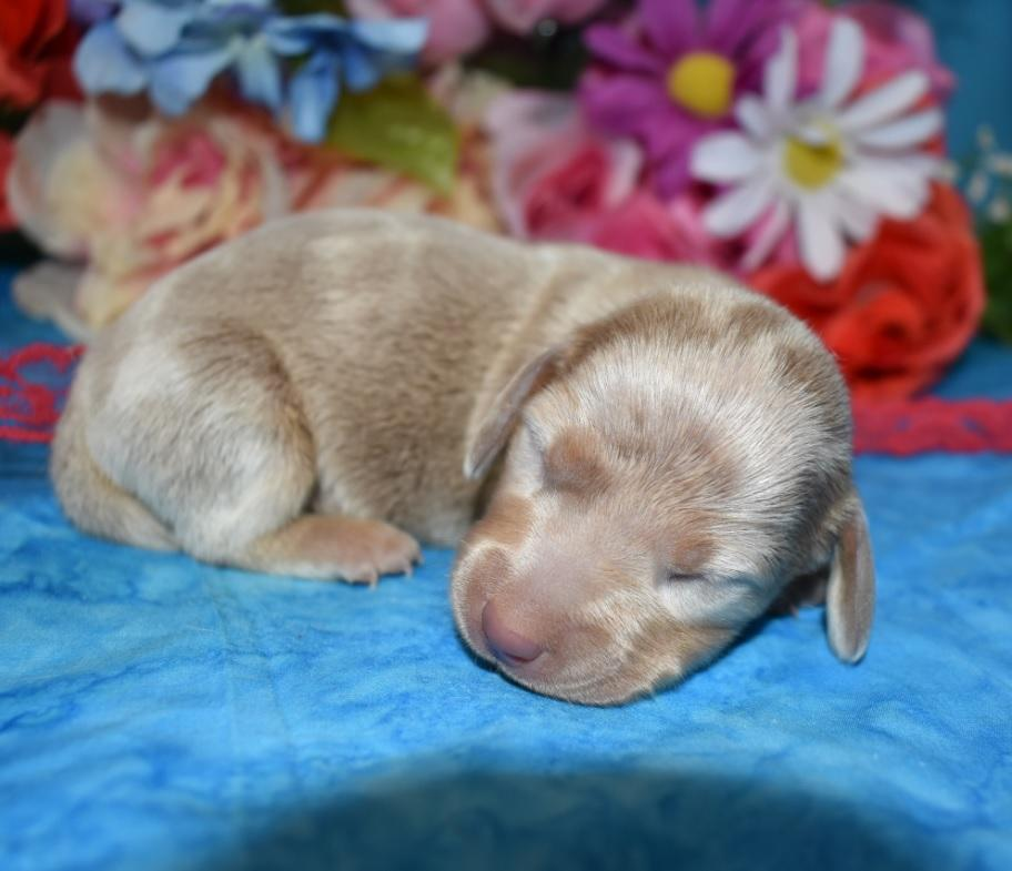 AKC male isabelle tan piebald miniature dachshund puppy for sale near me