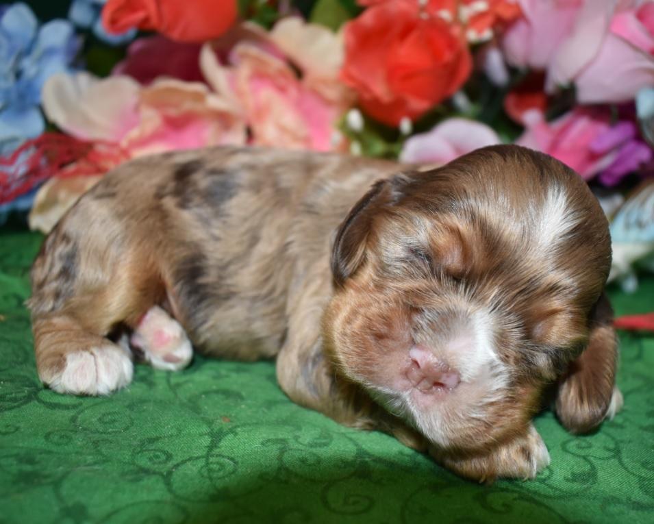 chocolate tan merle cocker spaniel puppies for sale