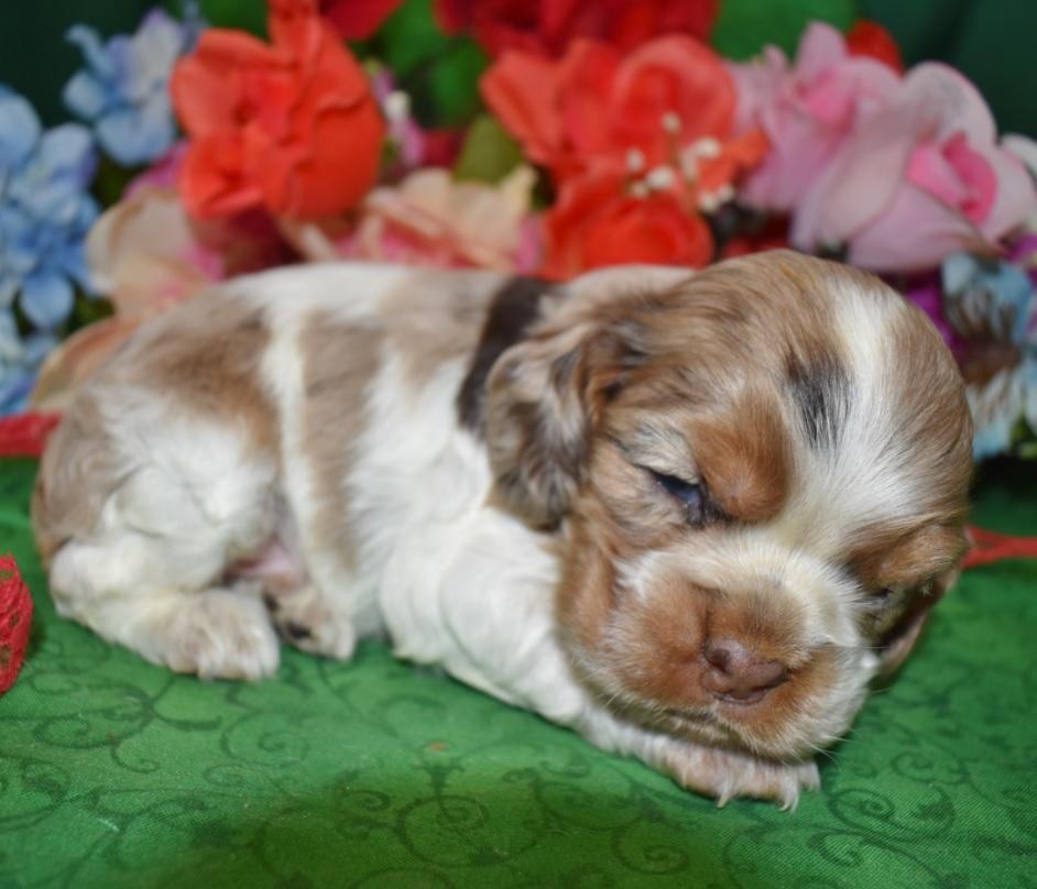 male tan irish piebald (White) chocolate merle cocker spaniel puppy for sale