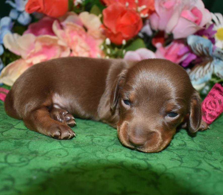 female chocolate tan smooth coat miniature dachshund puppy for sale