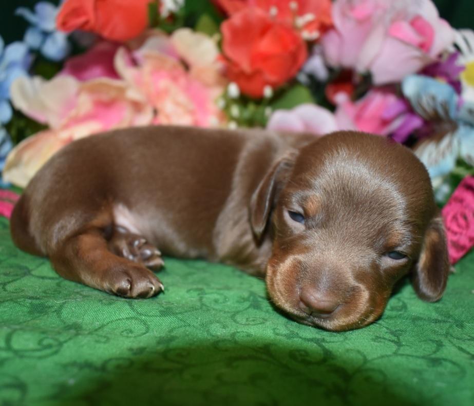 Miniature Dachshund Puppies For Sale near me