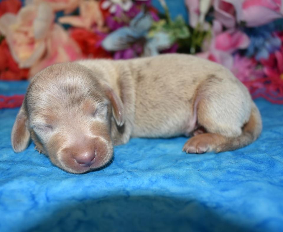 AKC male isabelle cream dapple smooth coat miniature dachshund puppies near me