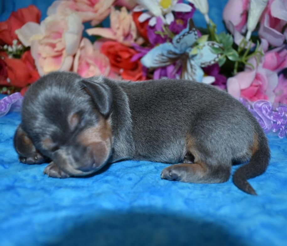 Mini dachshund puppies blue tan blue cream dapple isabelle tan