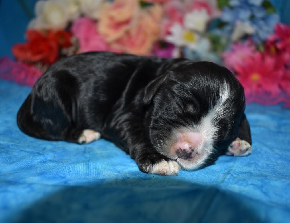 AKC female black Cocker Spaniel puppies