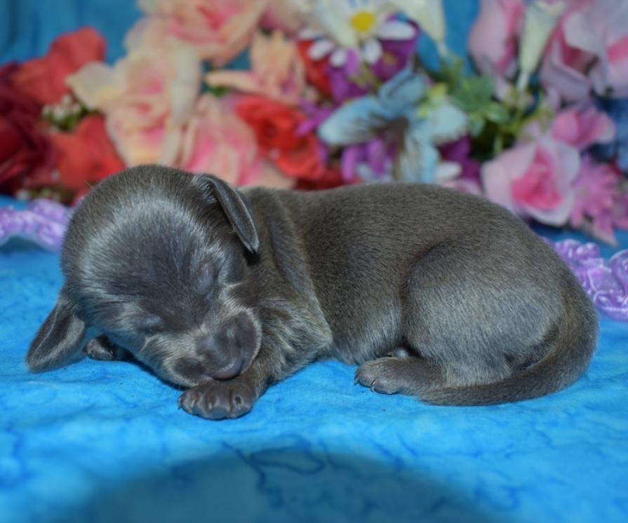 AKC female solid blue mini dachshunds