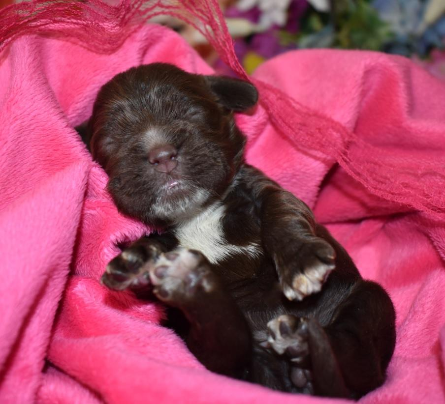 Female chocolate Cocker Spaniel puppies for sale
