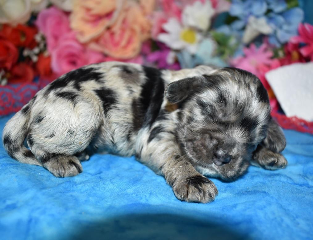 blue tan cocker spaniel puppies for sale