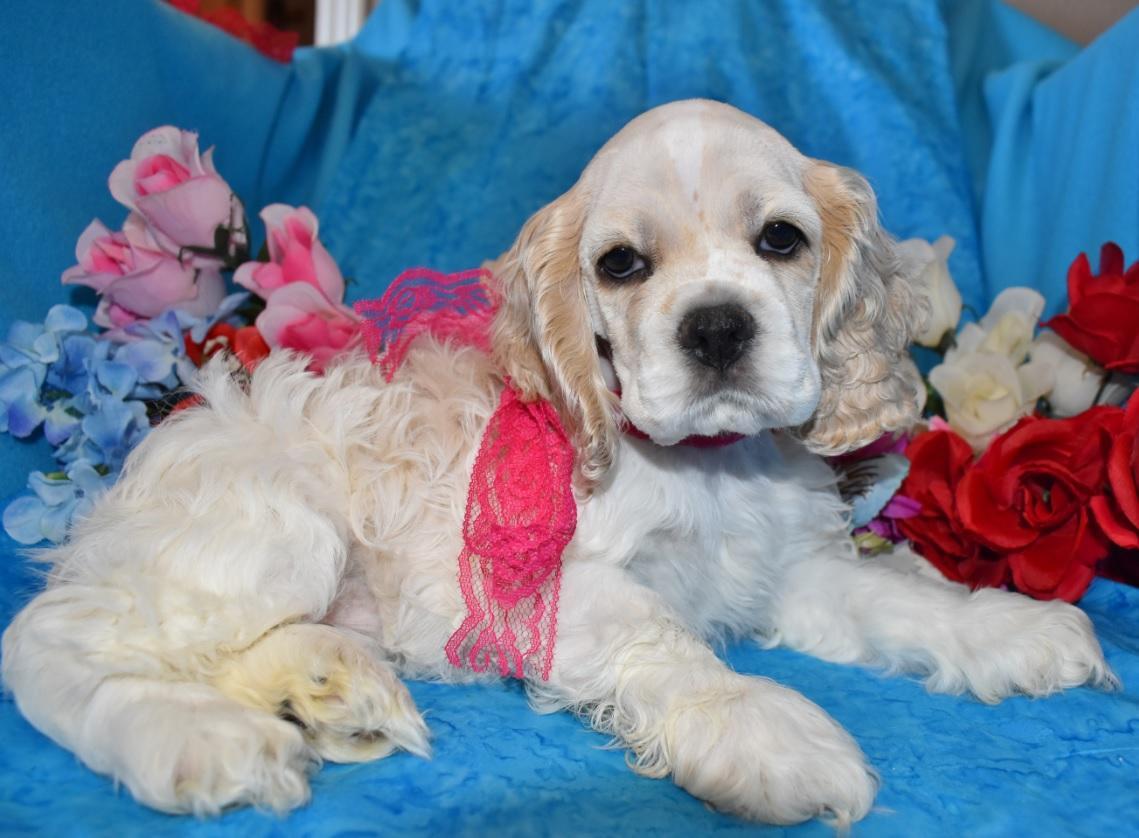 Parti Cocker Spaniel Puppies for sale