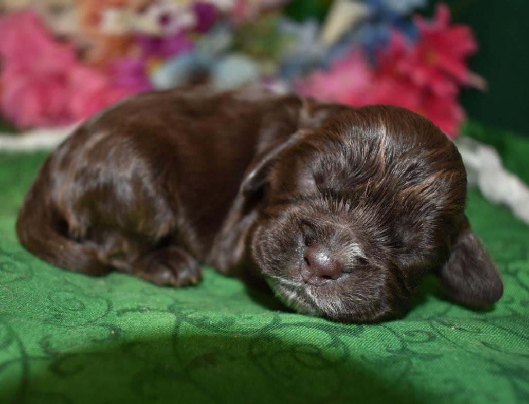 Purebred Chocolate Puppies for sale