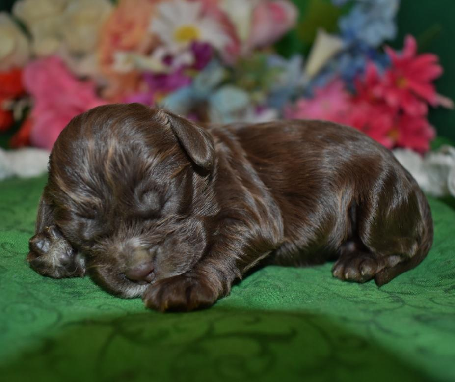 Looking to adopt Cocker Spaniel Puppies