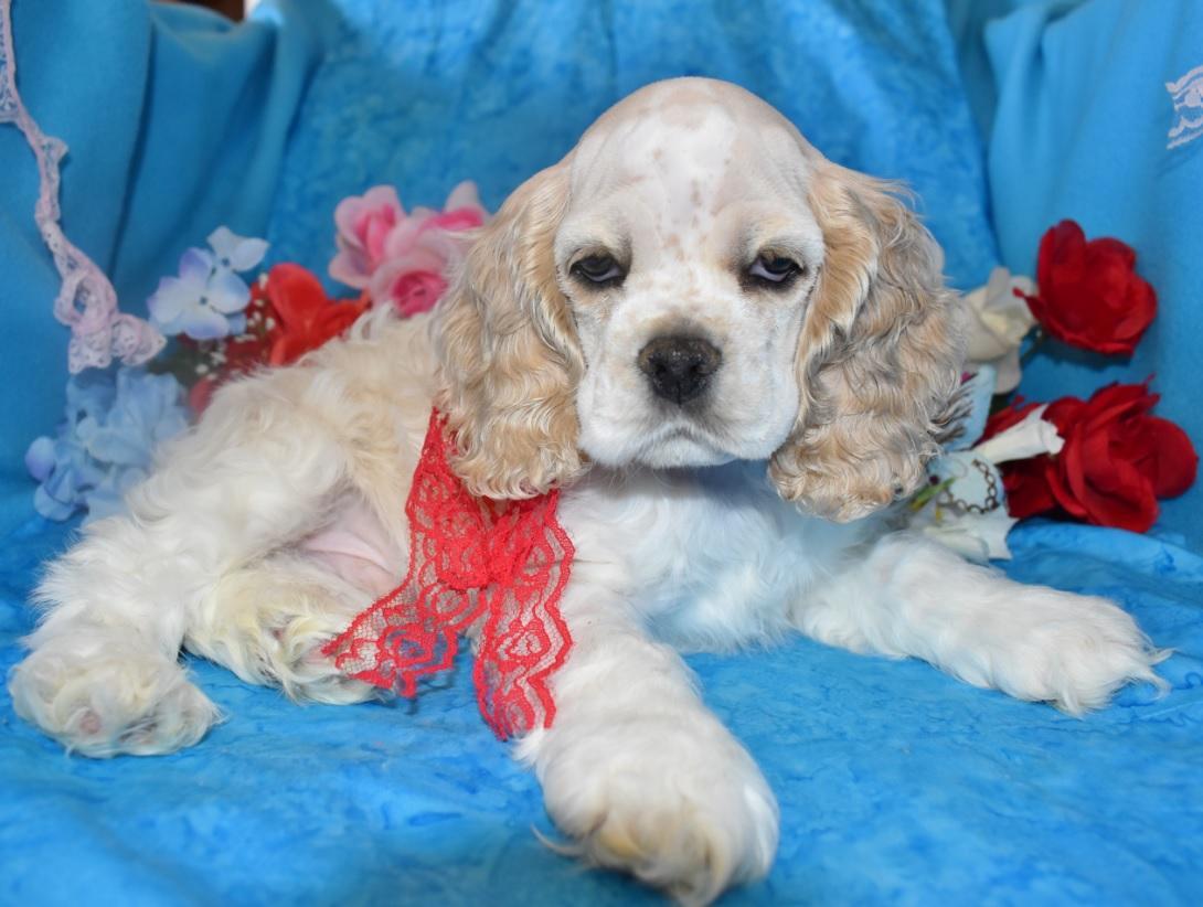 AKC Male Buff Parti or Buff Roan Cocker Spaniel Puppy for Sale in Colorado