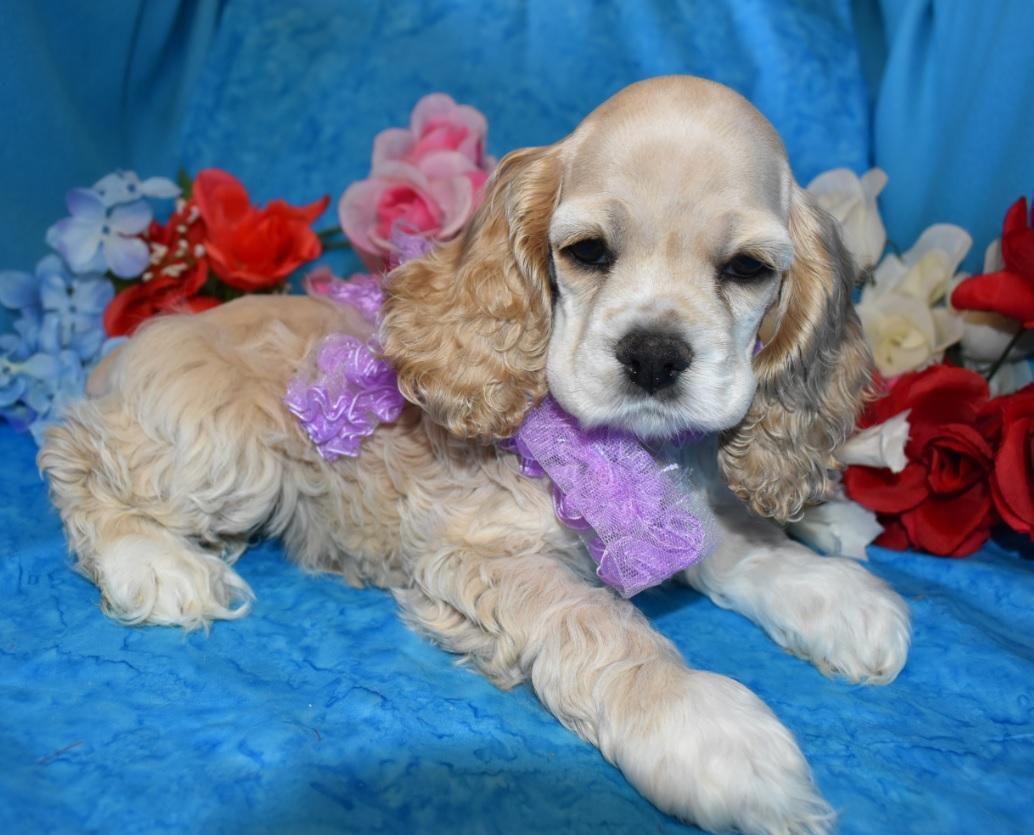 Cocker Spaniel Puppies Colorado