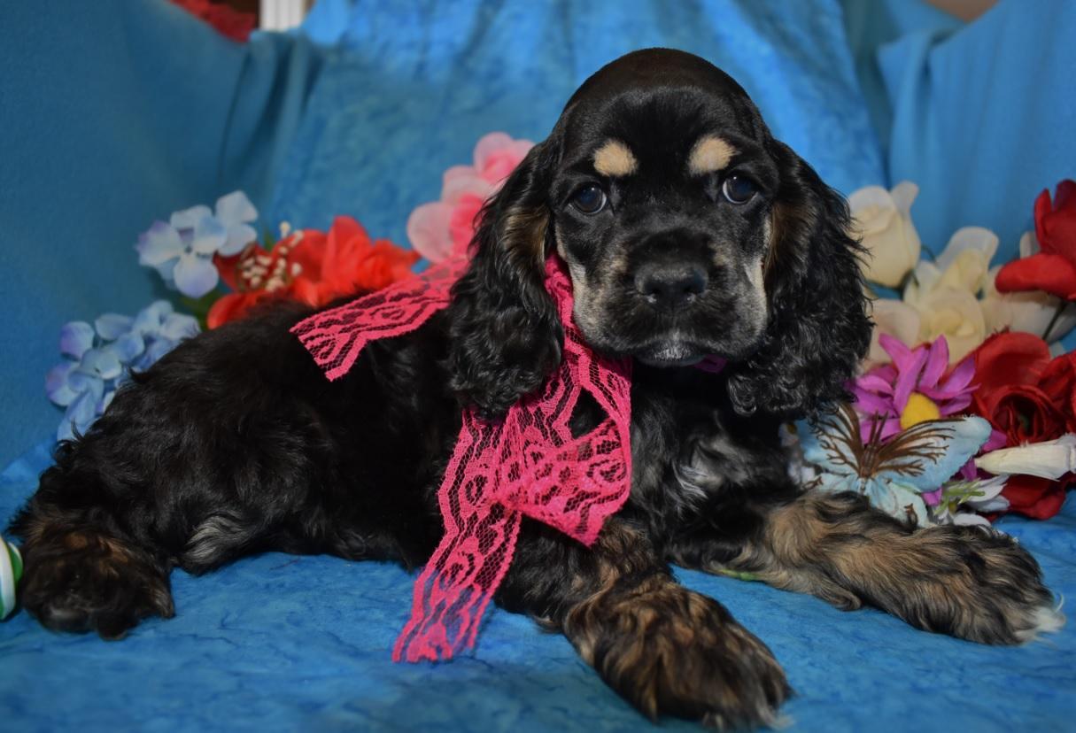 AKC female black tan Cocker Spaniel puppies