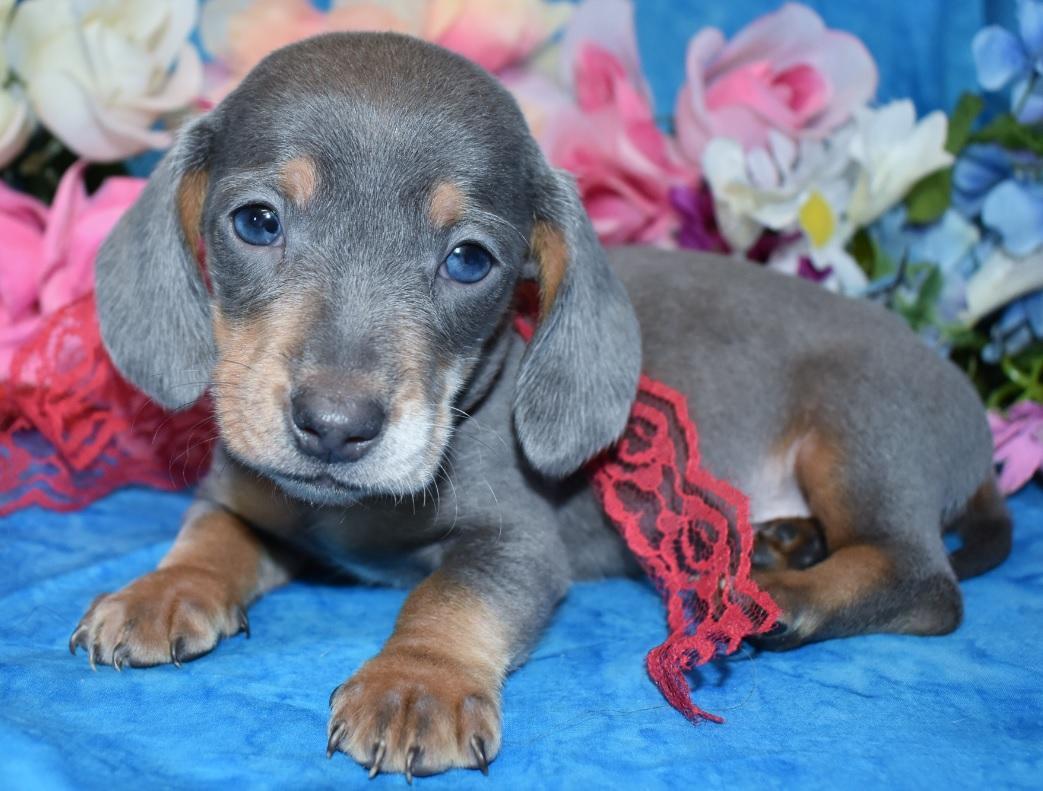 Blue Cream Dapple Smooth Coat Miniature Dachshund Puppy with blue eyes