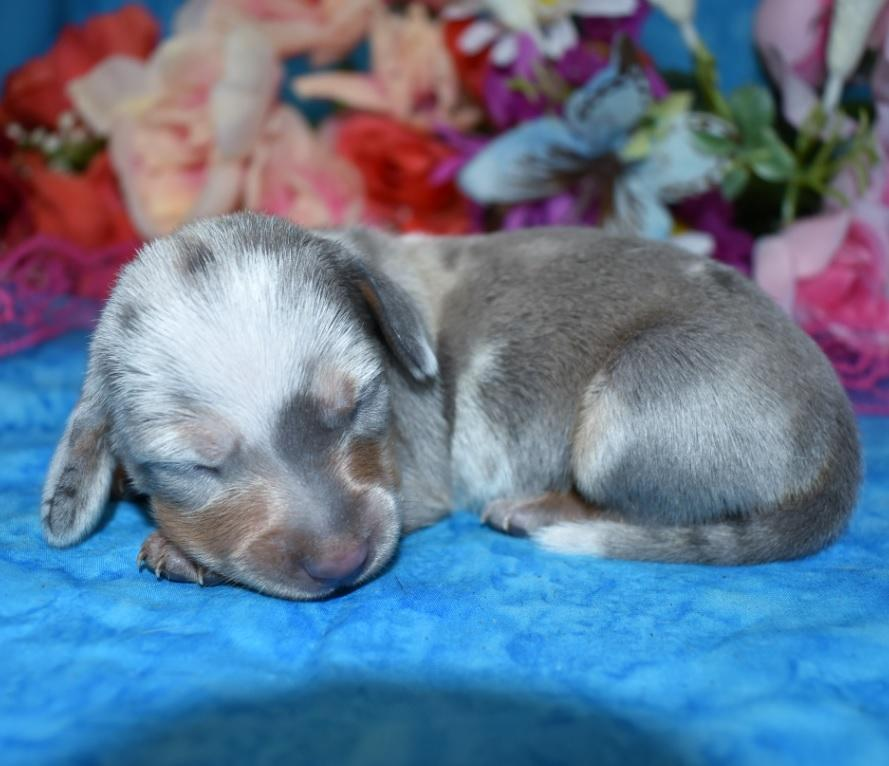 female blue tan dapple smooth coat miniature dachshund puppies in Colorado