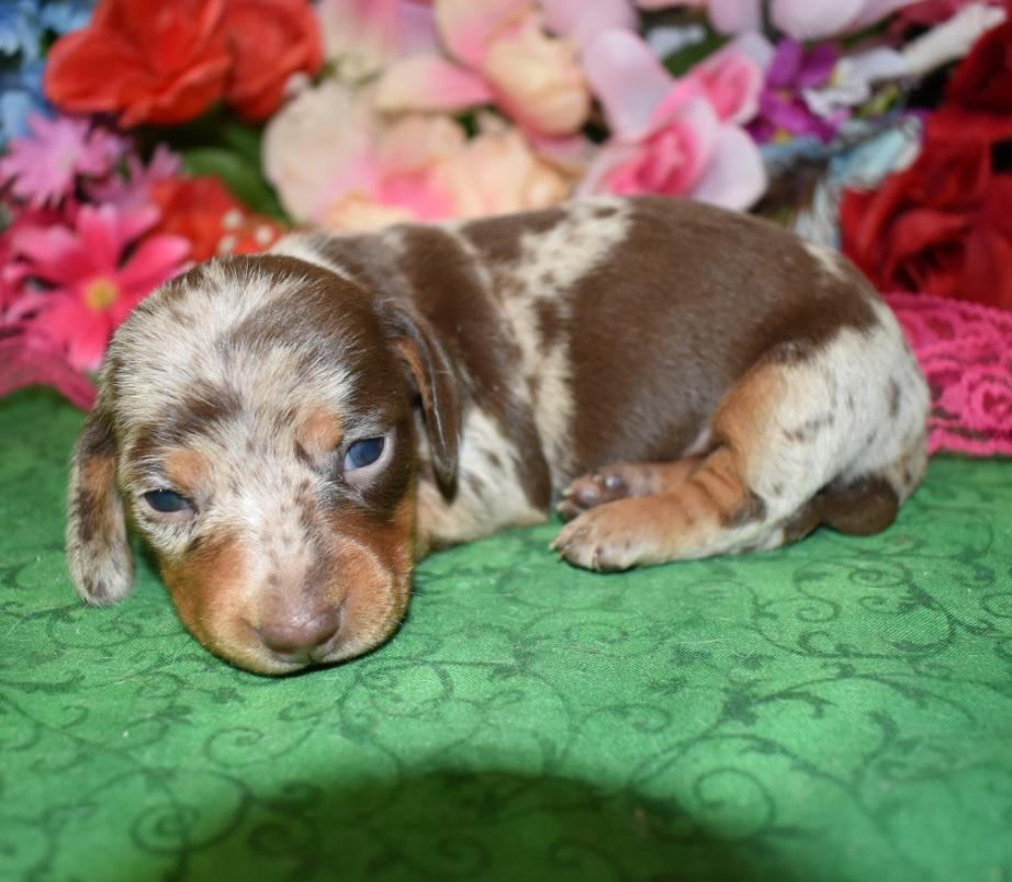 Bentley-chocolate-tan-dapple-smooth-coat-miniature-dachshund2.1