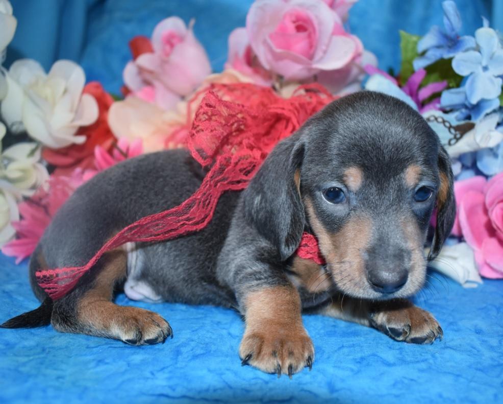 miniature dapple dachshund puppies for sale near me