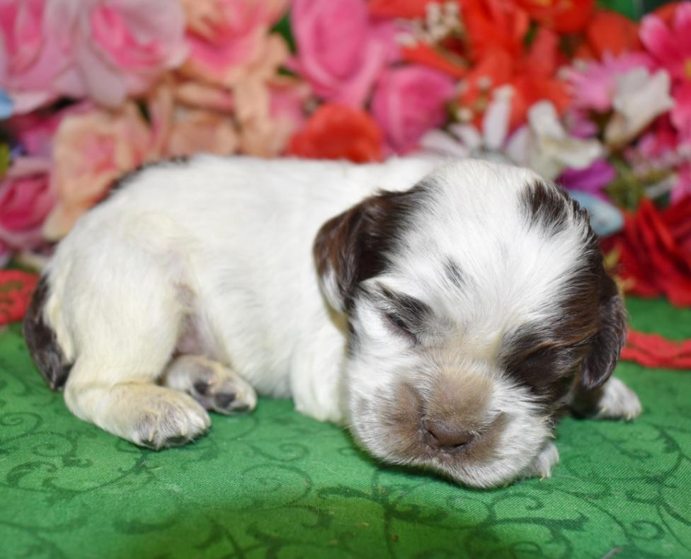 male chocolate roan or chocolate white parti American cocker spaniel puppies