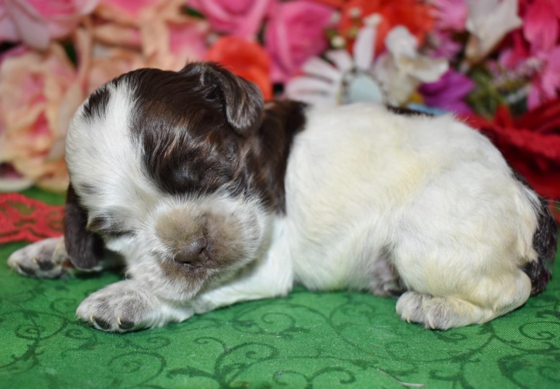 cute adorable chocolate white parti cocker spaniel puppies