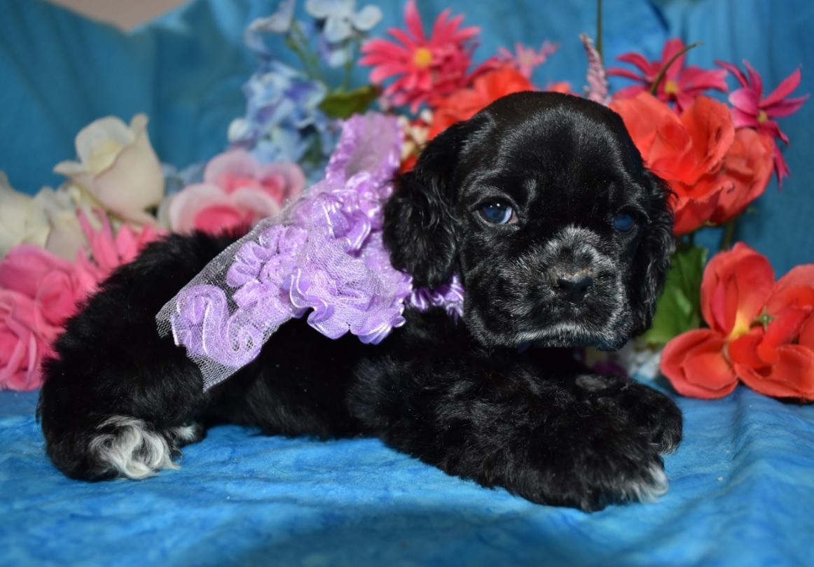 AKC female black or black parti Cocker Spaniel Puppies for sale