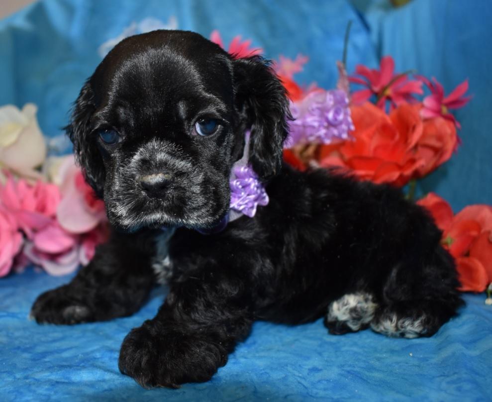 female black cocker spaniel puppies for sale