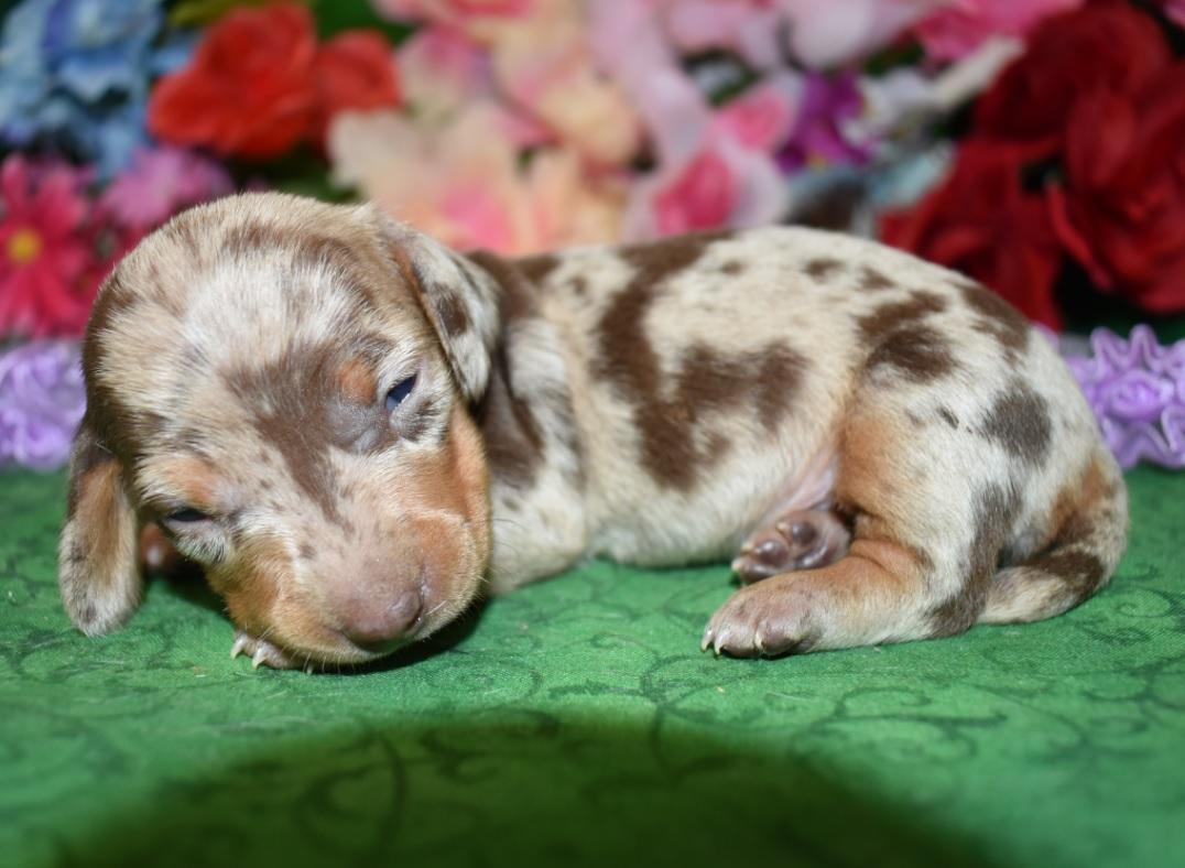 chocolate dapple miniature dachshund puppies for sale in Colorado