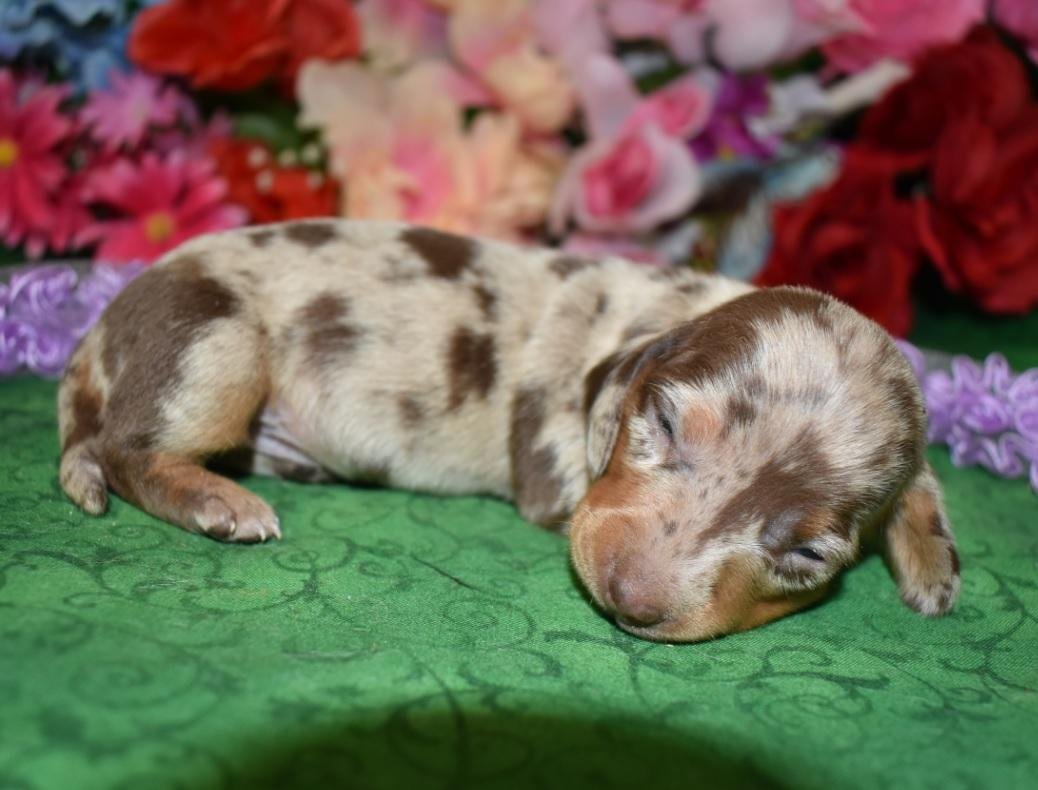 female chocolate tan smooth coat miniature dachshund puppies