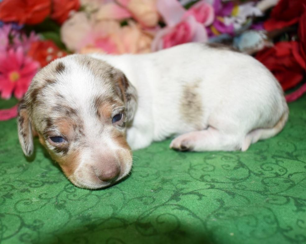 smooth coat chocolate tan dapple miniature dachshund puppies