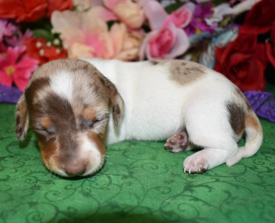 Penelope-chocolate-tan-piebald-dapple-smooth-coat-miniature-dachshund2.1