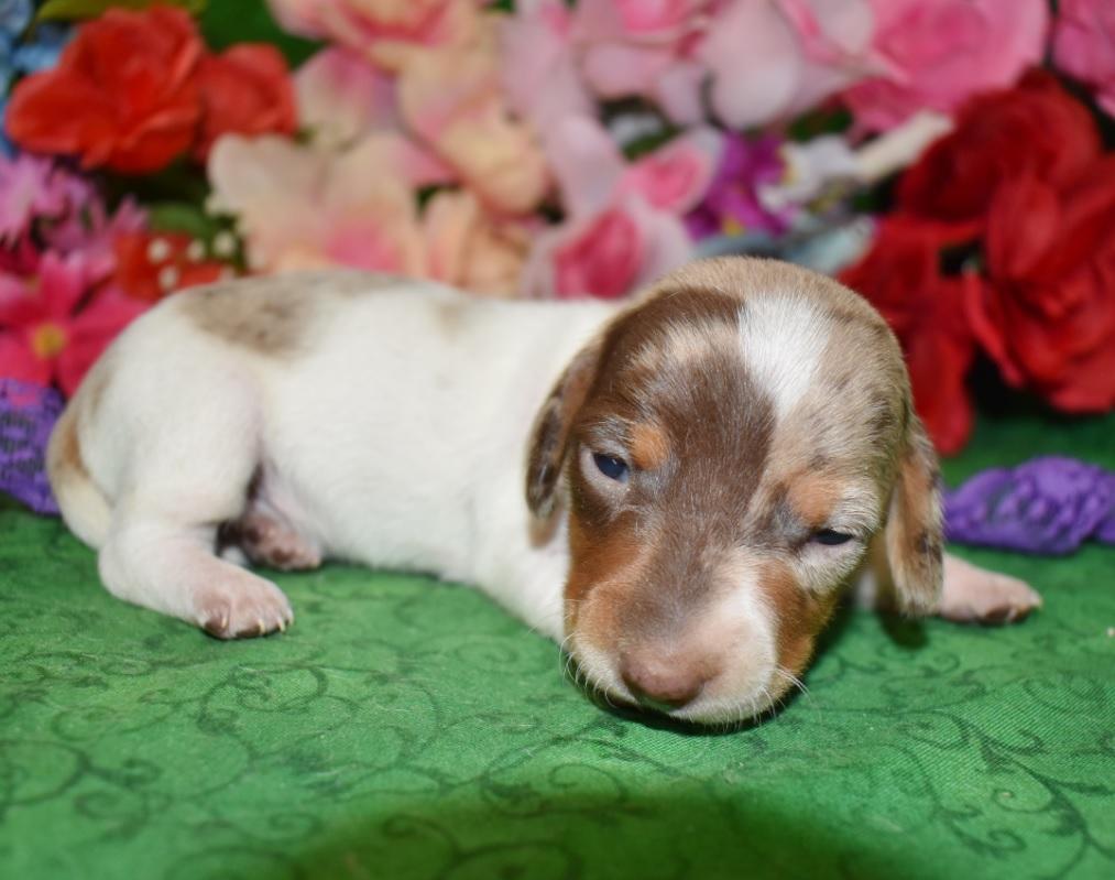 AKC female chocolate tan piebald dapple smooth coat miniature dachshund puppy for sale