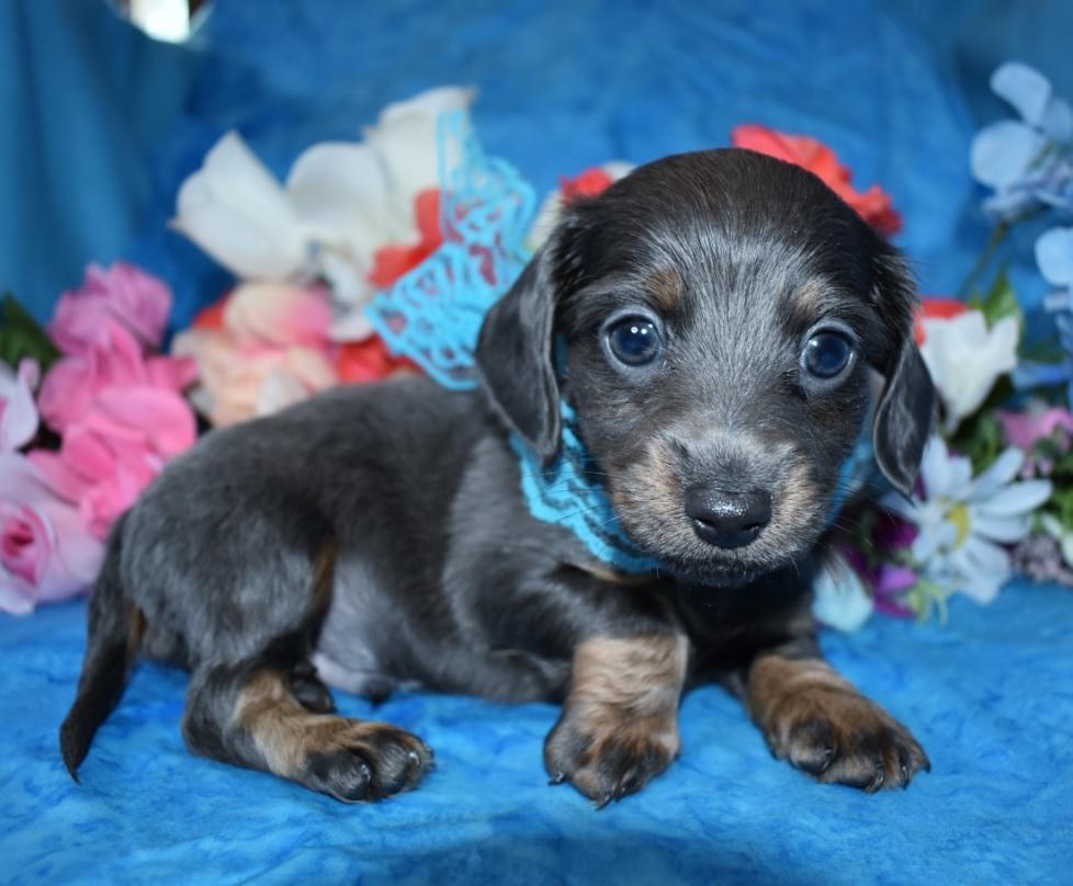 Quincy-blue-tan-longhair-miniature-dachshund6.1