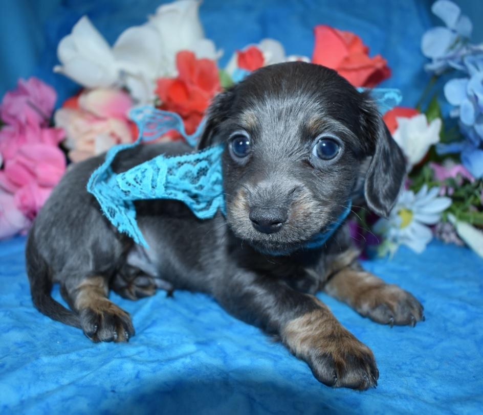 Quincy-blue-tan-longhair-miniature-dachshund6.2