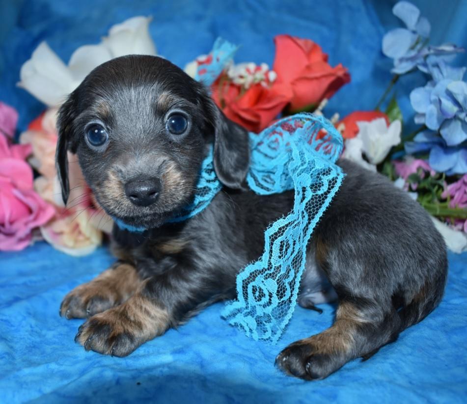 cute adorable mini dachshund puppies for sale