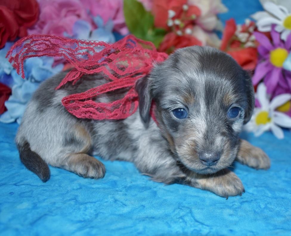 blue cream dapple longhair miniature dachshund puppies near me