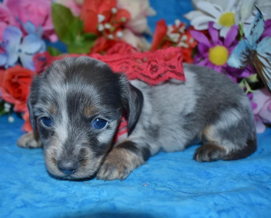 Shadow-blue-cream-dapple-longhair-miniature-dachshund4.5